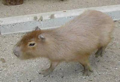 0002kapibara1