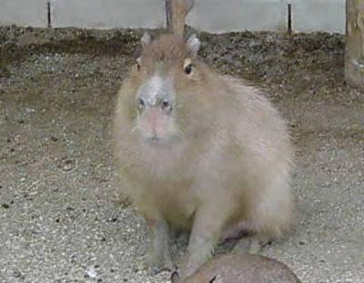 0002kapibara2